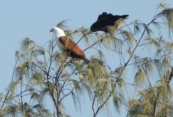 Sea Eagles Patrol the Beach, but the Crows don't let them have it all their own way