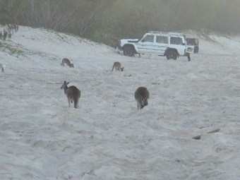 Kangaroos feeding on the Beach